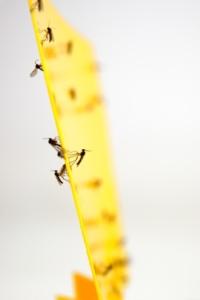 Gefangene Trauermücken auf Gelbsticker