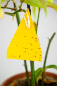 Gelbsticker hilft gegen Trauermücken