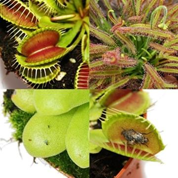 Starter Set Fleischfressende Pflanzen - 3 Pflanzen -