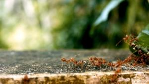 Nematoden gegen Ameisen