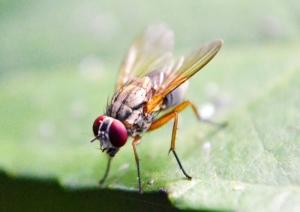 Wie Fruchtfliegen loswerden