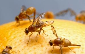 Fruchtfliegen zuechten